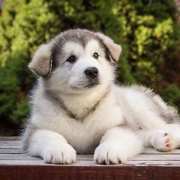 Alaskan Malamute Puppies For From