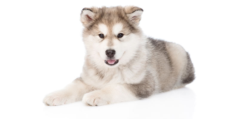 Utah Alaskan Malamute puppies for sale