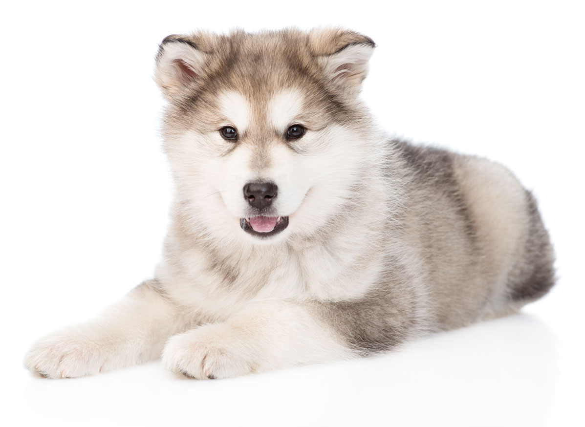 Alaskan Malamute puppy finder