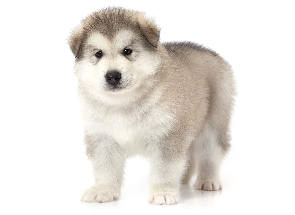 Alaskan Malamute puppy finder
