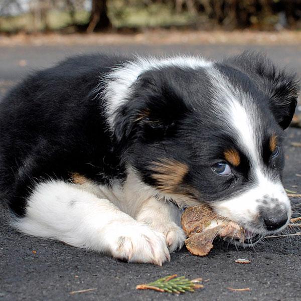 Uptown Puppies Aussiedoodle Breeder