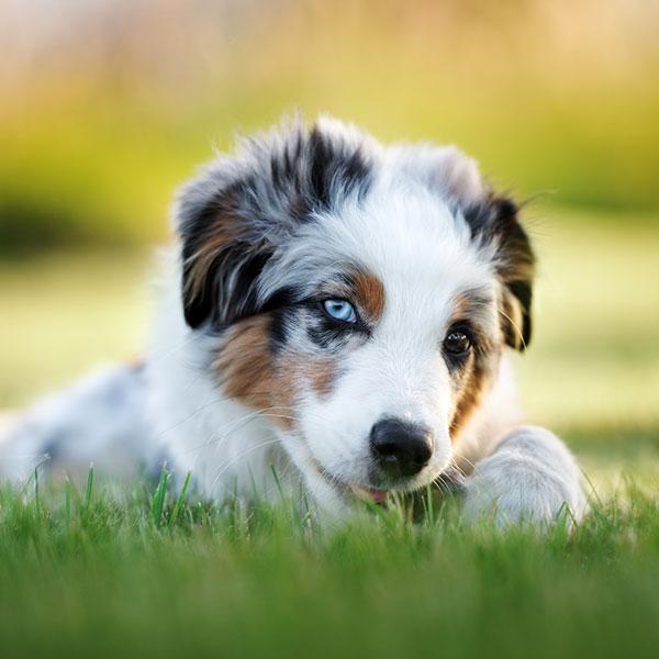 Uptown Puppies Australian Shepherd Breeder
