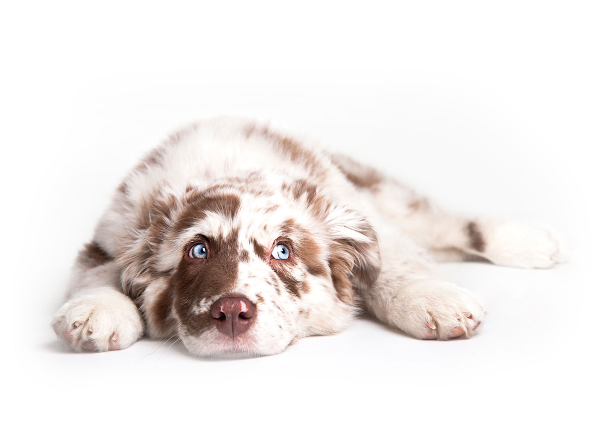 Australian Shepherd puppy finder
