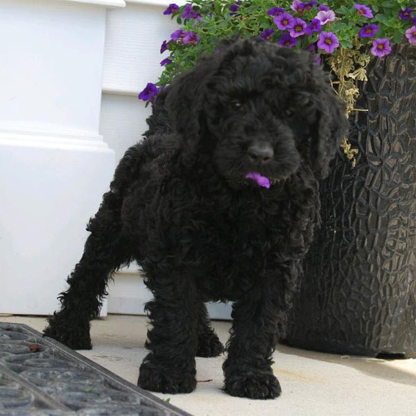 top doodle puppies for sale