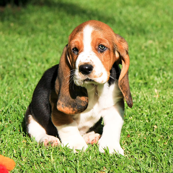 Uptown Puppies Basset Hound Breeder