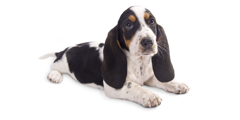 Utah Basset Hound puppies for sale
