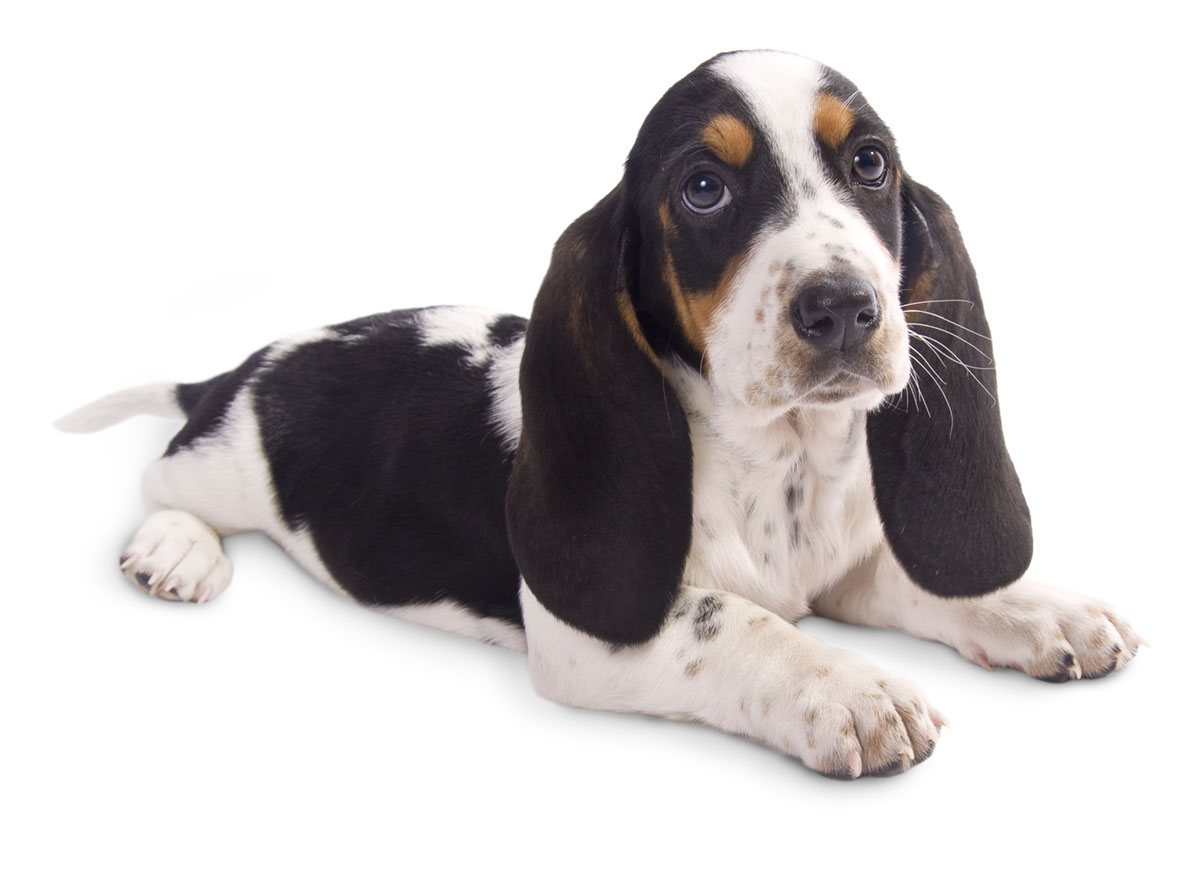 Basset Hound Puppies for Sale by Uptown Puppies