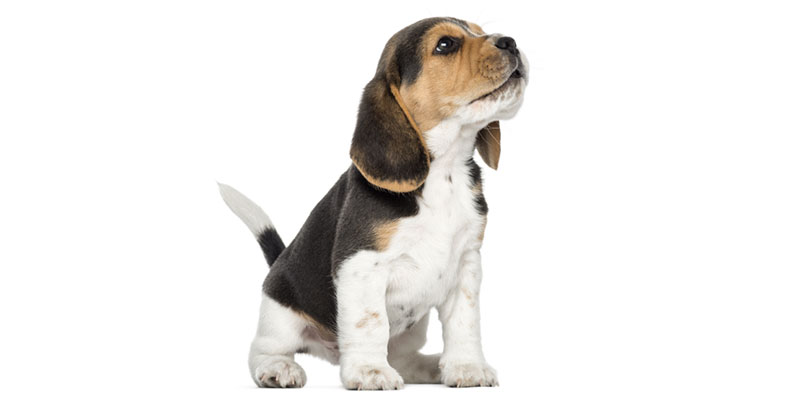 Beagle puppies for sales