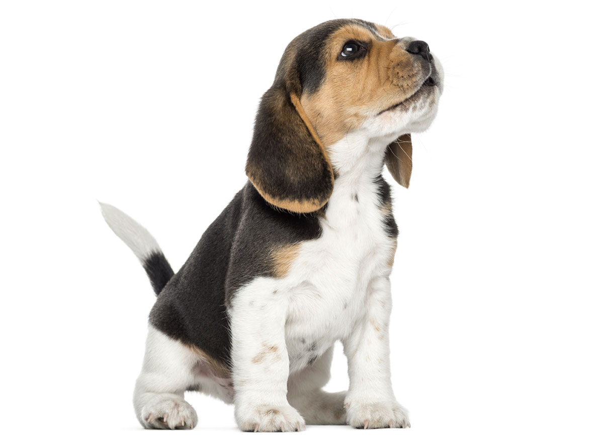 Beagle Puppies for Sale in Boston MA by Uptown Puppies