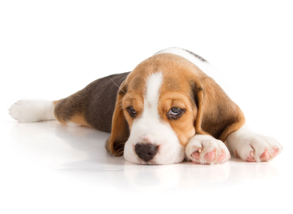 Beagle puppies for sale by Uptown Puppies
