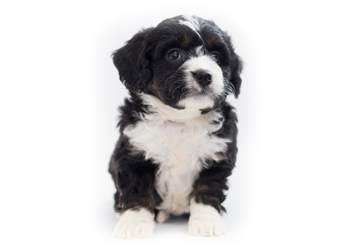 Bernedoodle puppy finder
