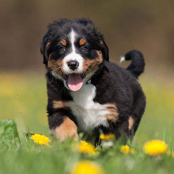 Uptown Puppies Bernese Mountain Dog Breeder