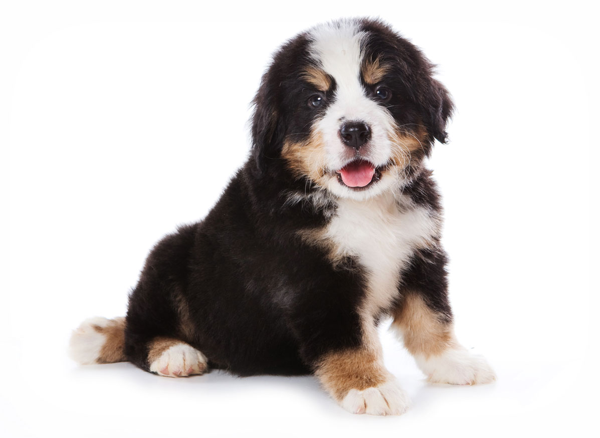 Bernese Mountain Dog puppy finder