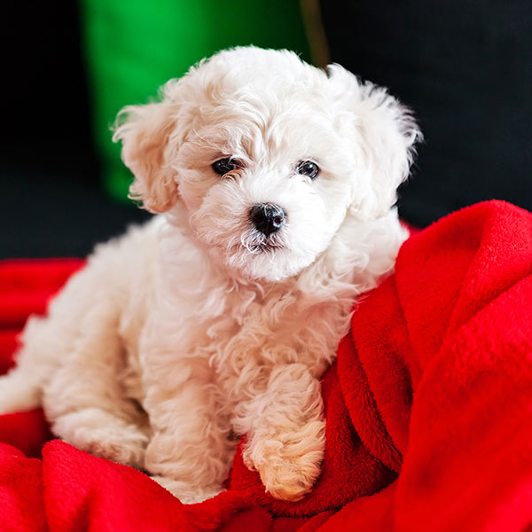 Uptown Puppies Bichon Frise Breeder
