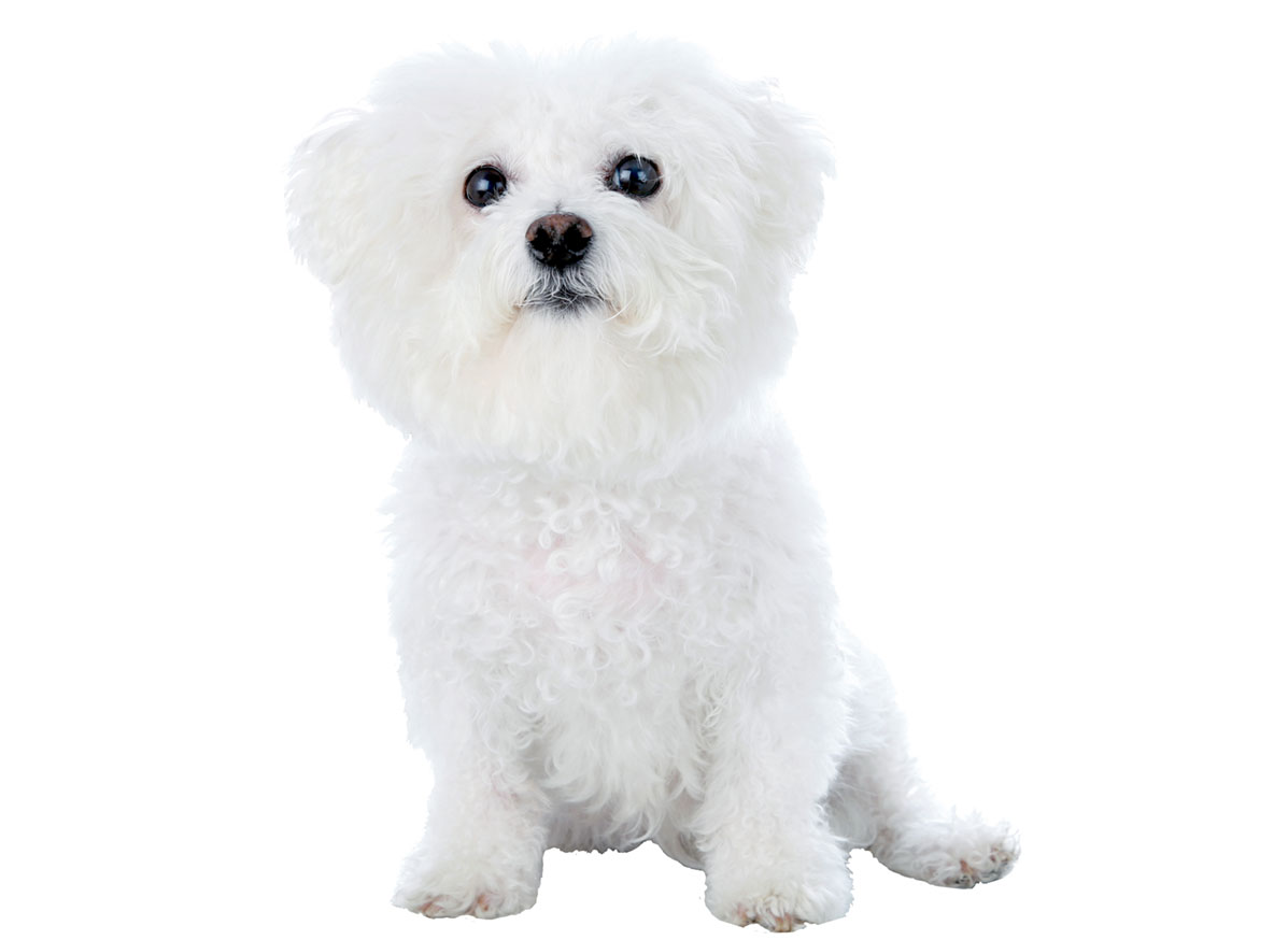 Bichon Frise Puppies for Sale in Atlanta GA by Uptown Puppies