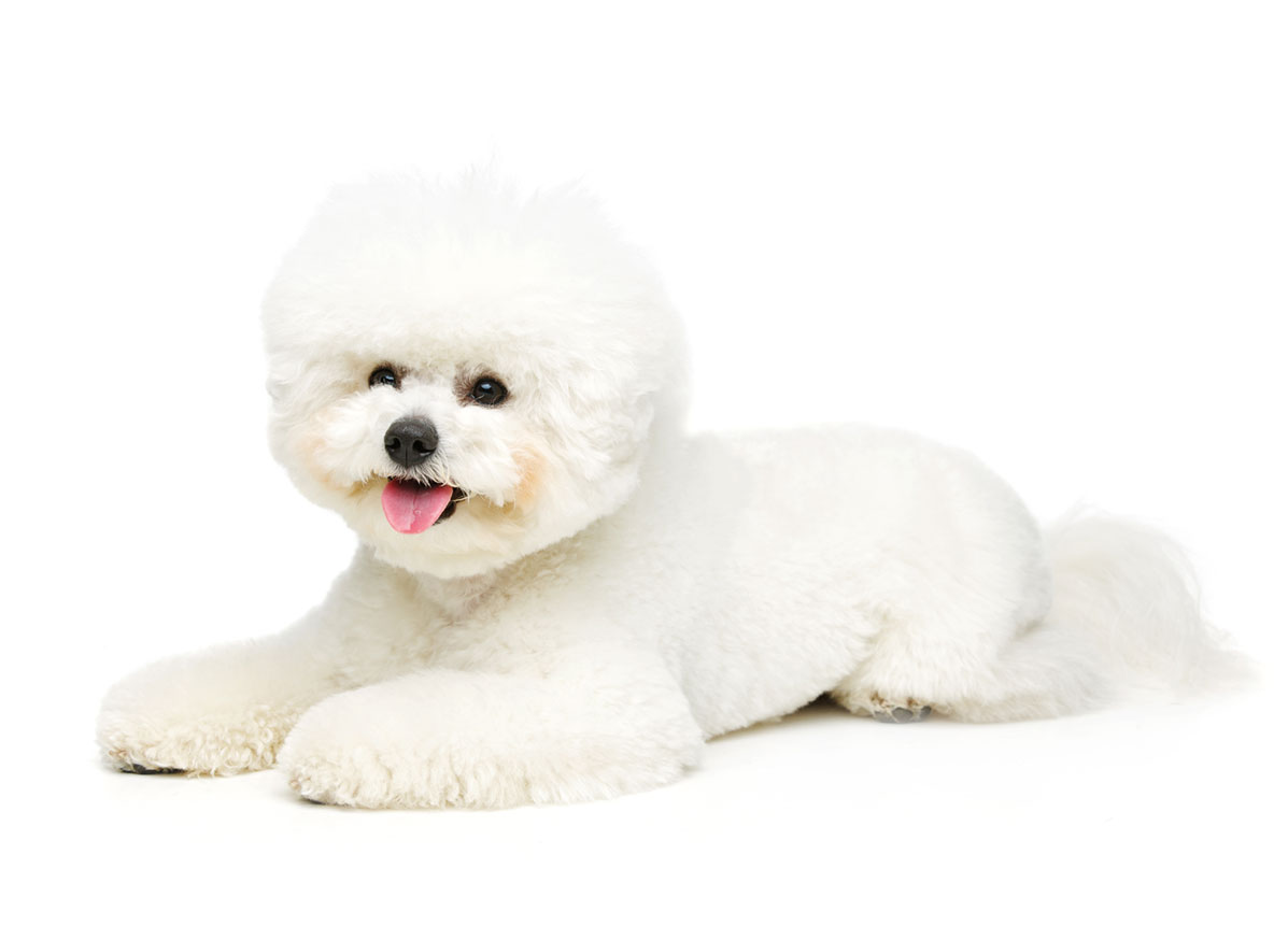 Bichon Frise puppies for sale by Uptown Puppies