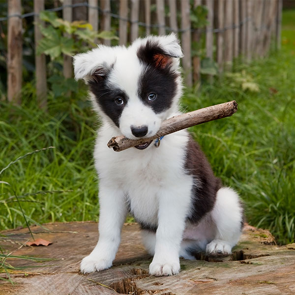 Uptown Puppies Border Collie Breeder