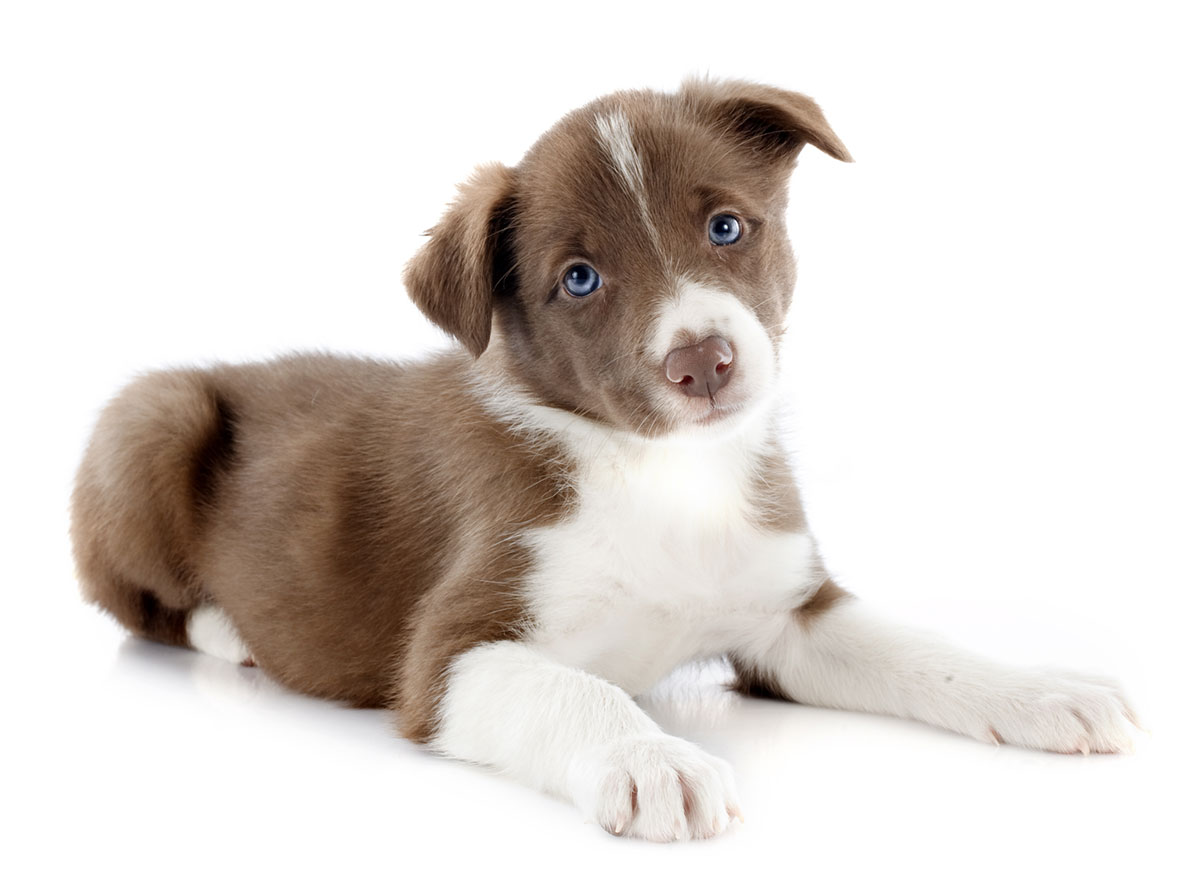 Border Collie puppy finder