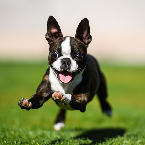Uptown Puppies Boston Terrier Breeder