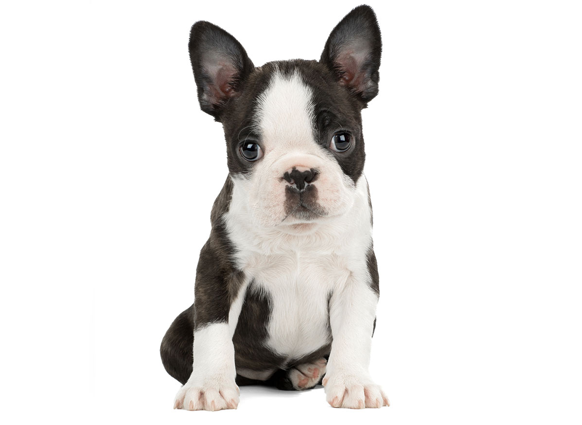 Boston Terrier Puppies for Sale in Boston MA by Uptown Puppies