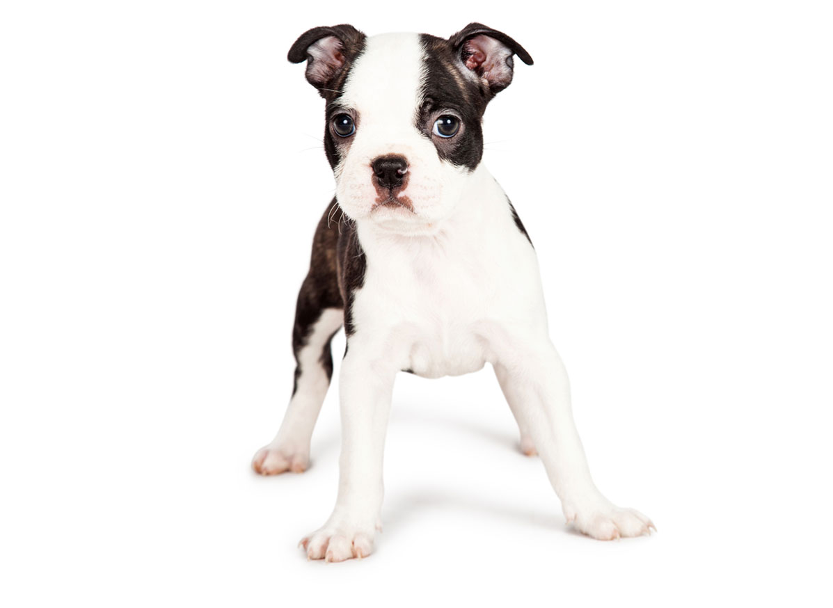 Boston Terrier puppy finder