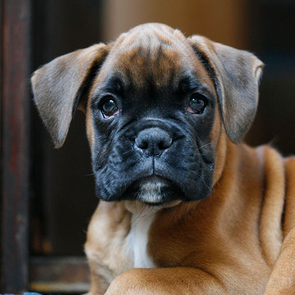 Uptown Puppies Boxer Breeder
