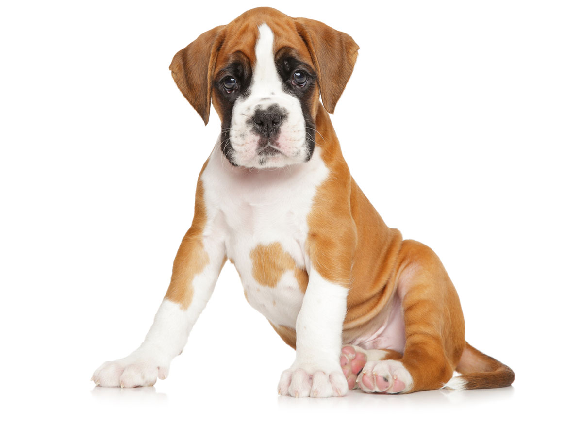 Boxer puppies for sale by Uptown Puppies