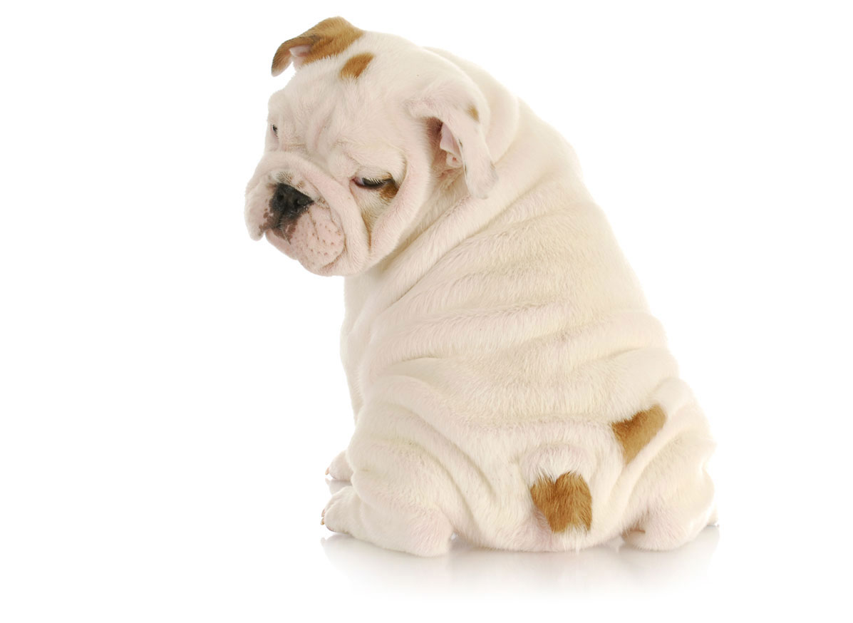 Bulldog puppies for sale by Uptown Puppies
