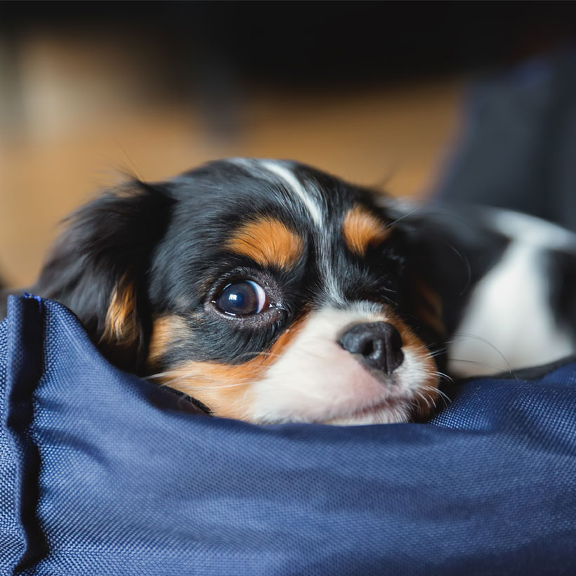 Uptown Puppies Cavalier King Charles Breeder