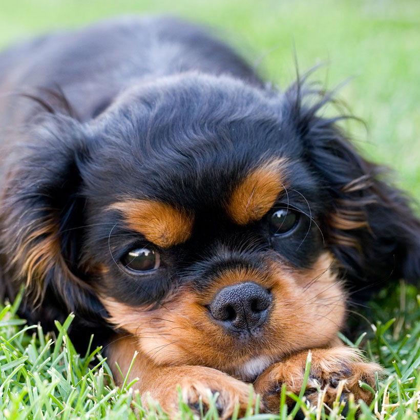 (state) Cavalier King Charles puppies for sale