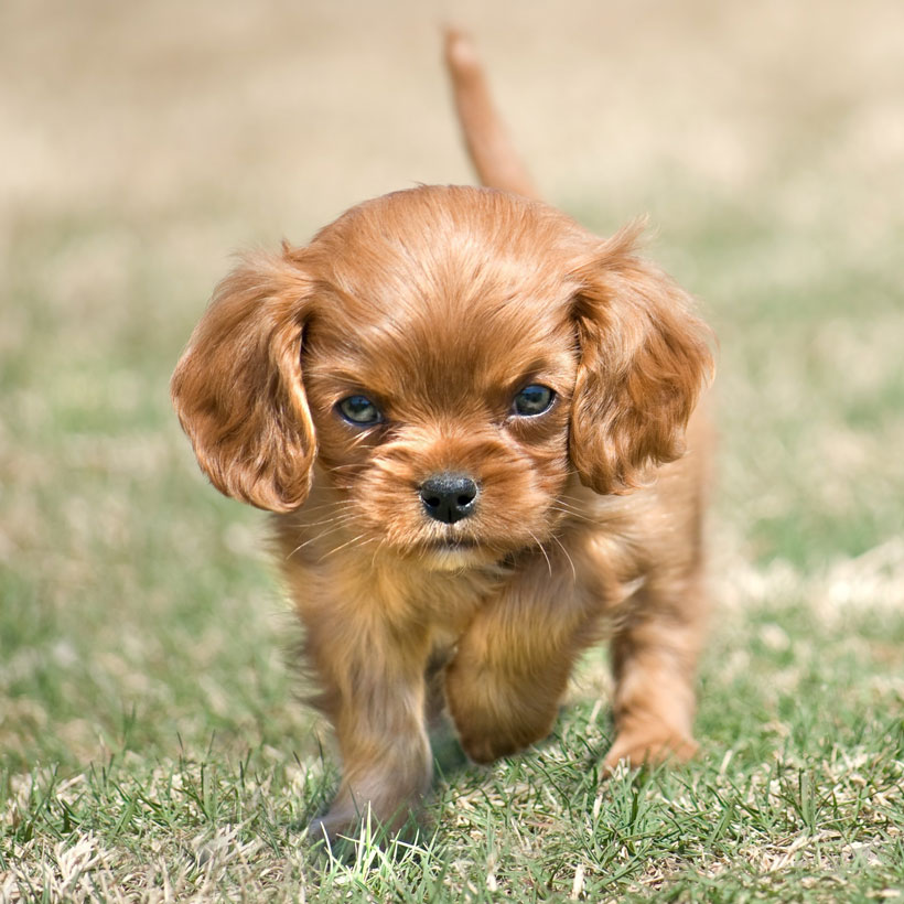 Cavalier King Charles puppies in (state)