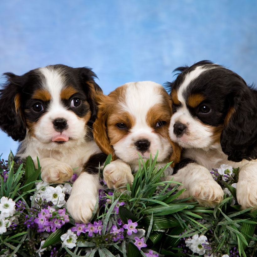 best Cavalier King Charles breeders in (state)
