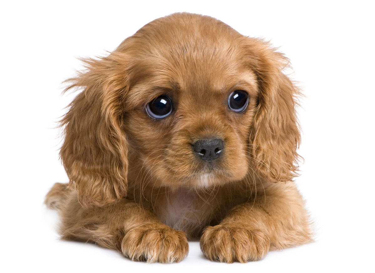 Cavalier King Charles Puppies for Sale in Florida by Uptown Puppies
