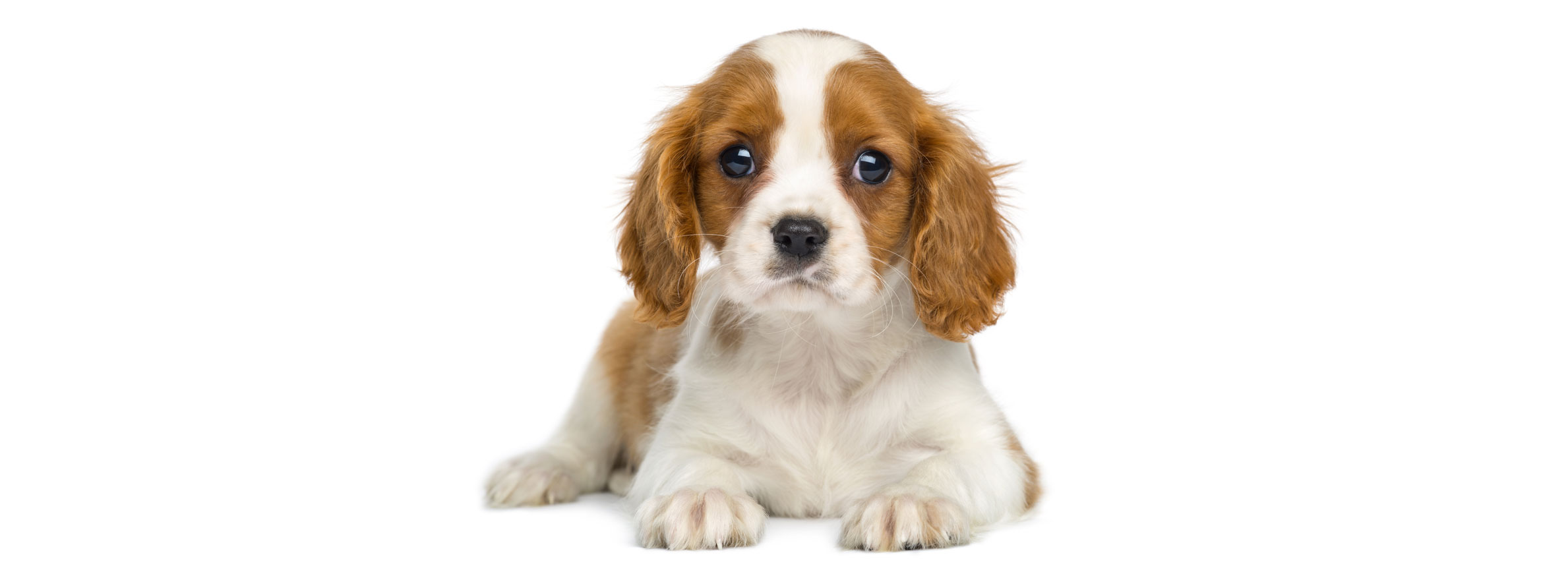 Cavalier King Charles puppy finder