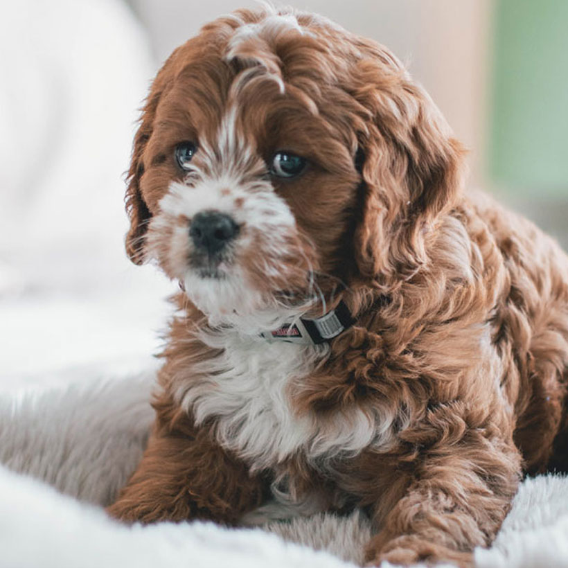 Uptown Puppies Cavapoo Breeder