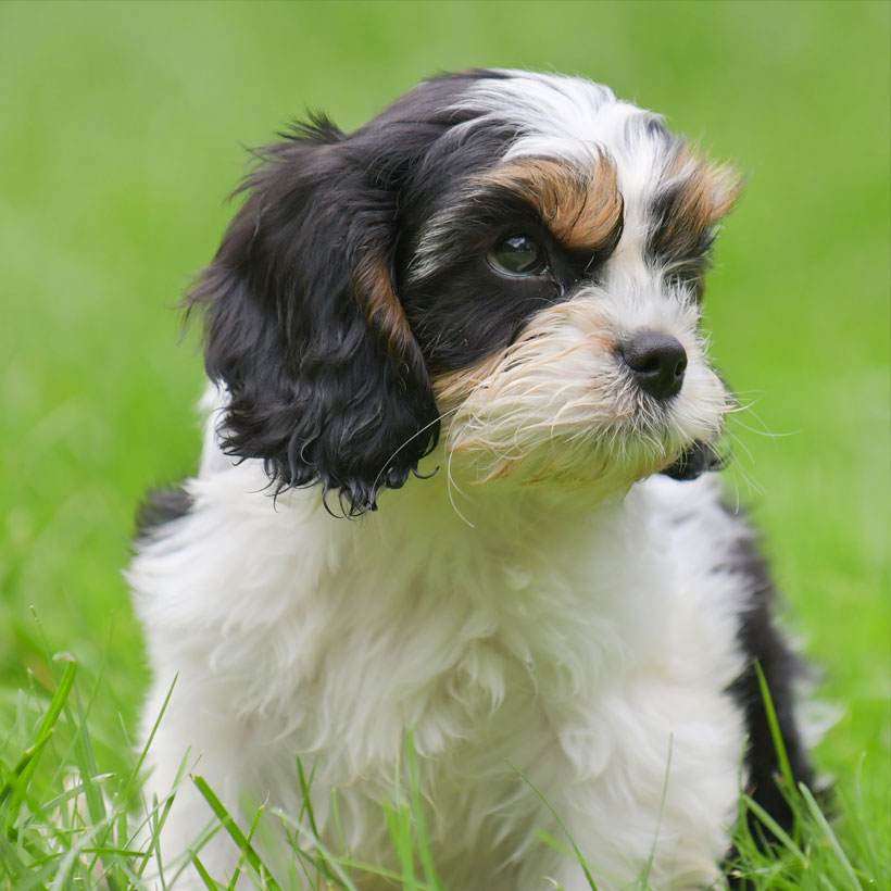 Cavapoo Puppies For Sale Near Me Cavadoodle Breeders