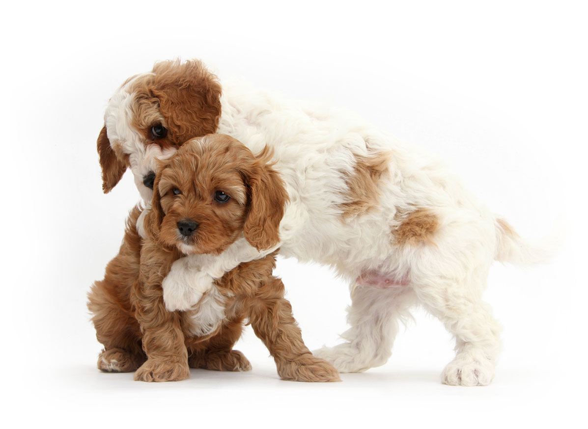 Texas Cavapoo puppies for sale
