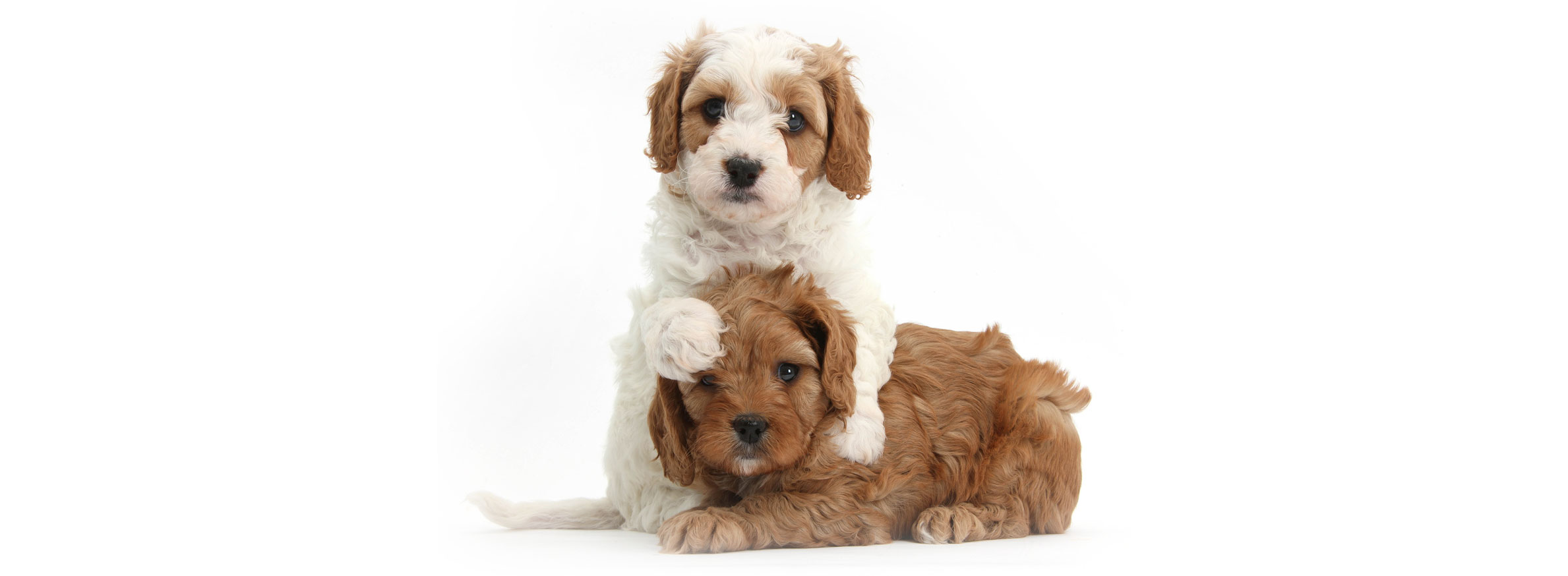 Cavapoo puppy finder