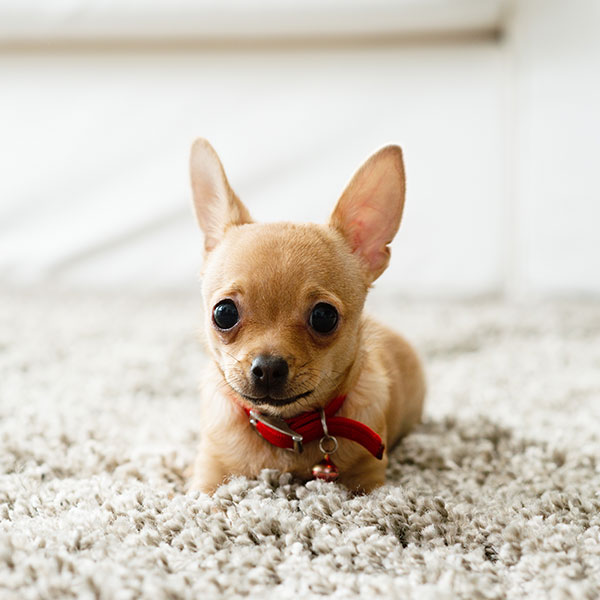 Uptown Puppies Chihuahua Breeder