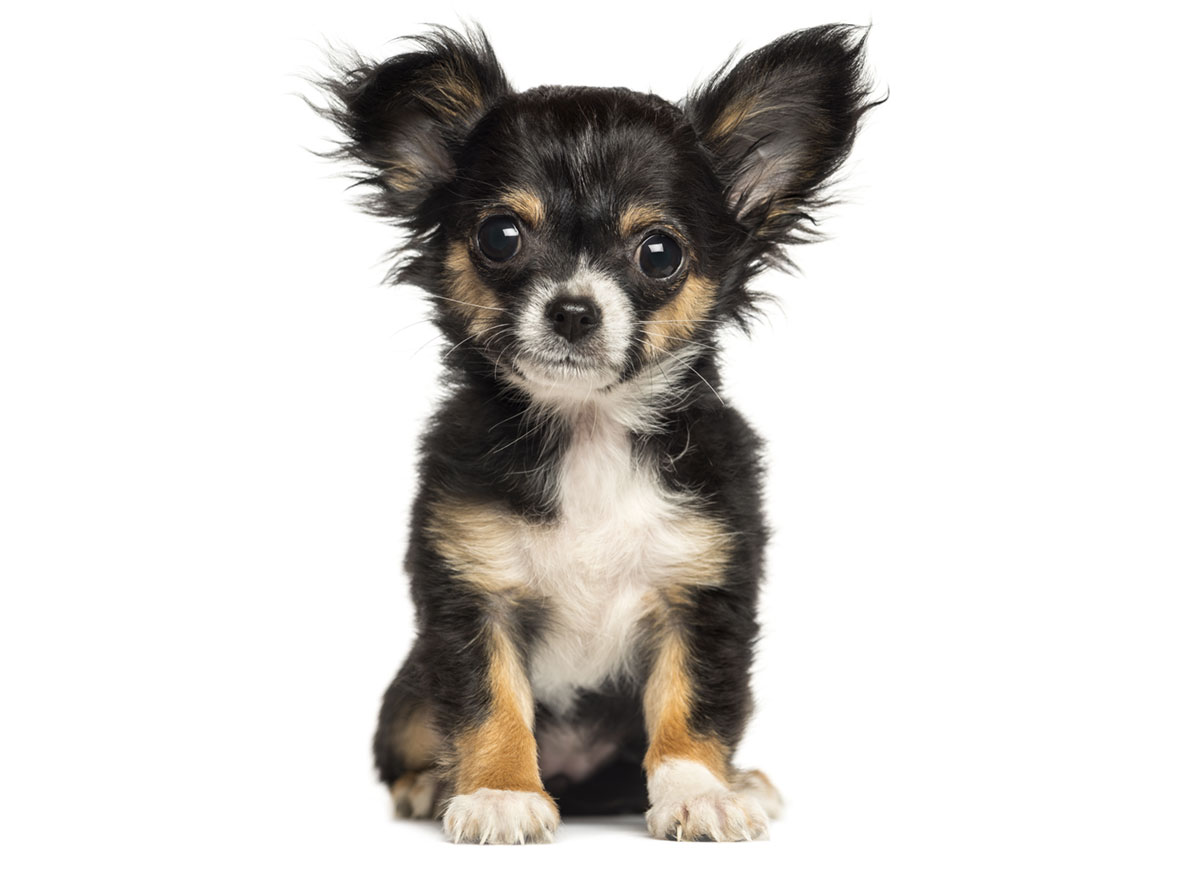 Chihuahua Puppies for Sale in Washington DC by Uptown Puppies