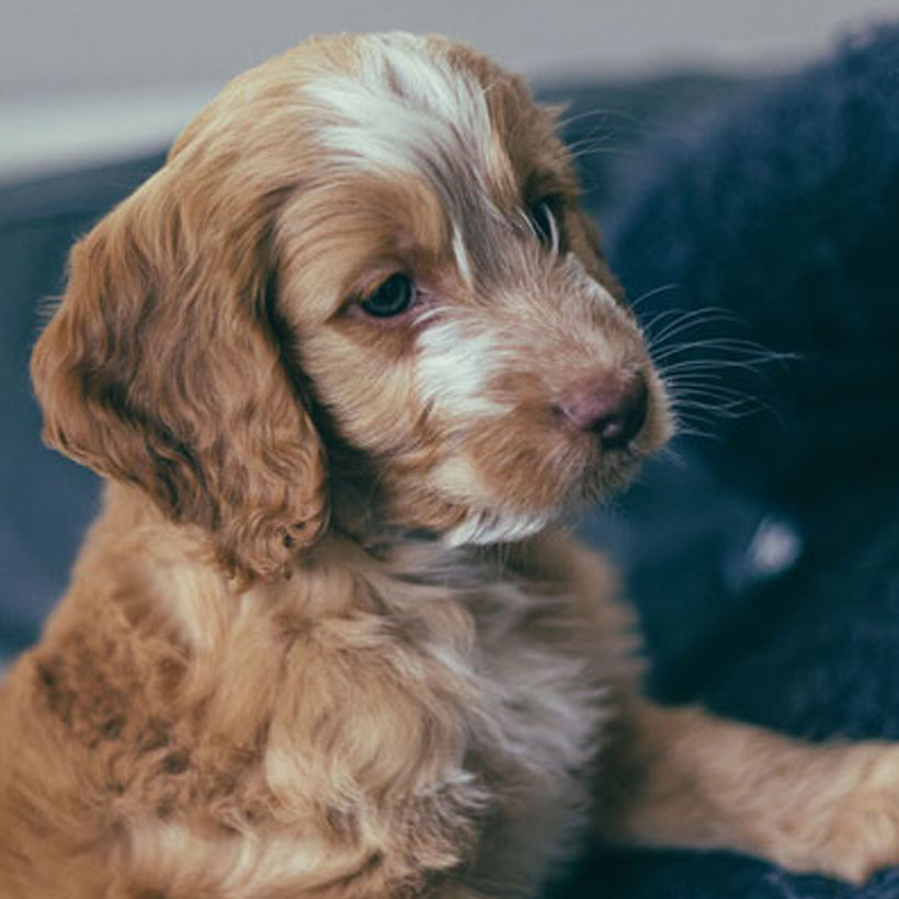 Uptown Puppies Cockapoo Breeder