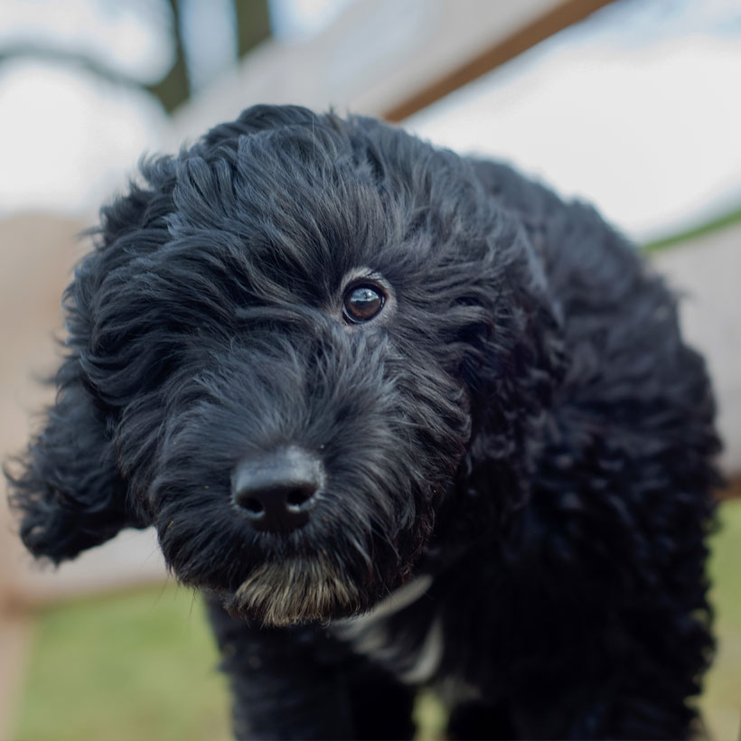 best Cockapoo breeders in (state)