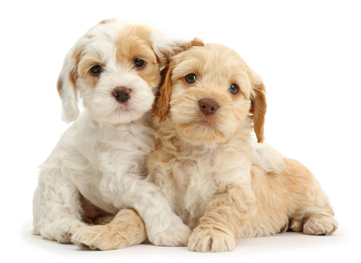 Cockapoo Puppies for Sale in Miami FL by Uptown Puppies