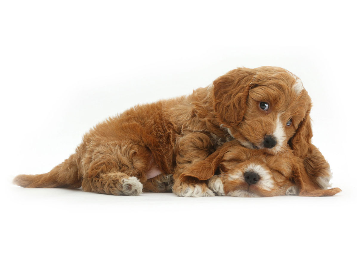 cockapoo puppies for sale by Uptown Puppies