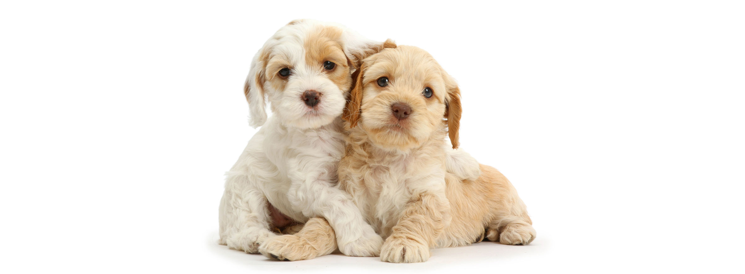 Cockapoo puppy finder