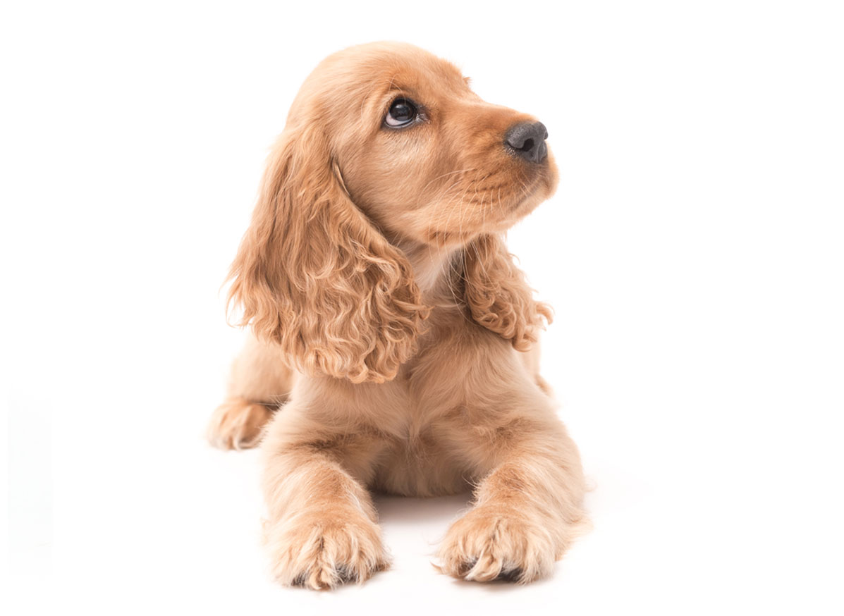 Cocker Spaniel Puppies for Sale by Uptown Puppies