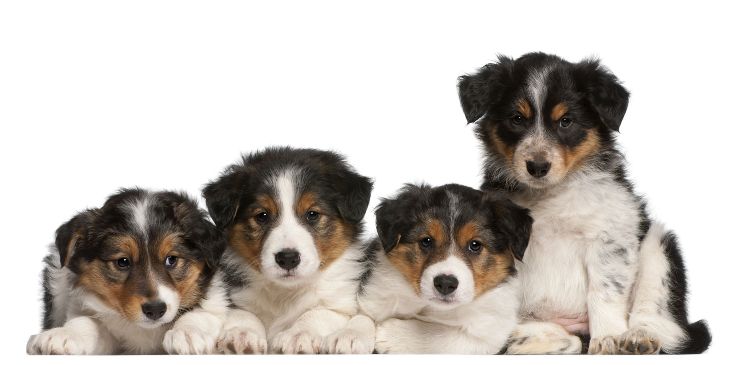 Border Collie Puppies for Sale by Uptown Puppies