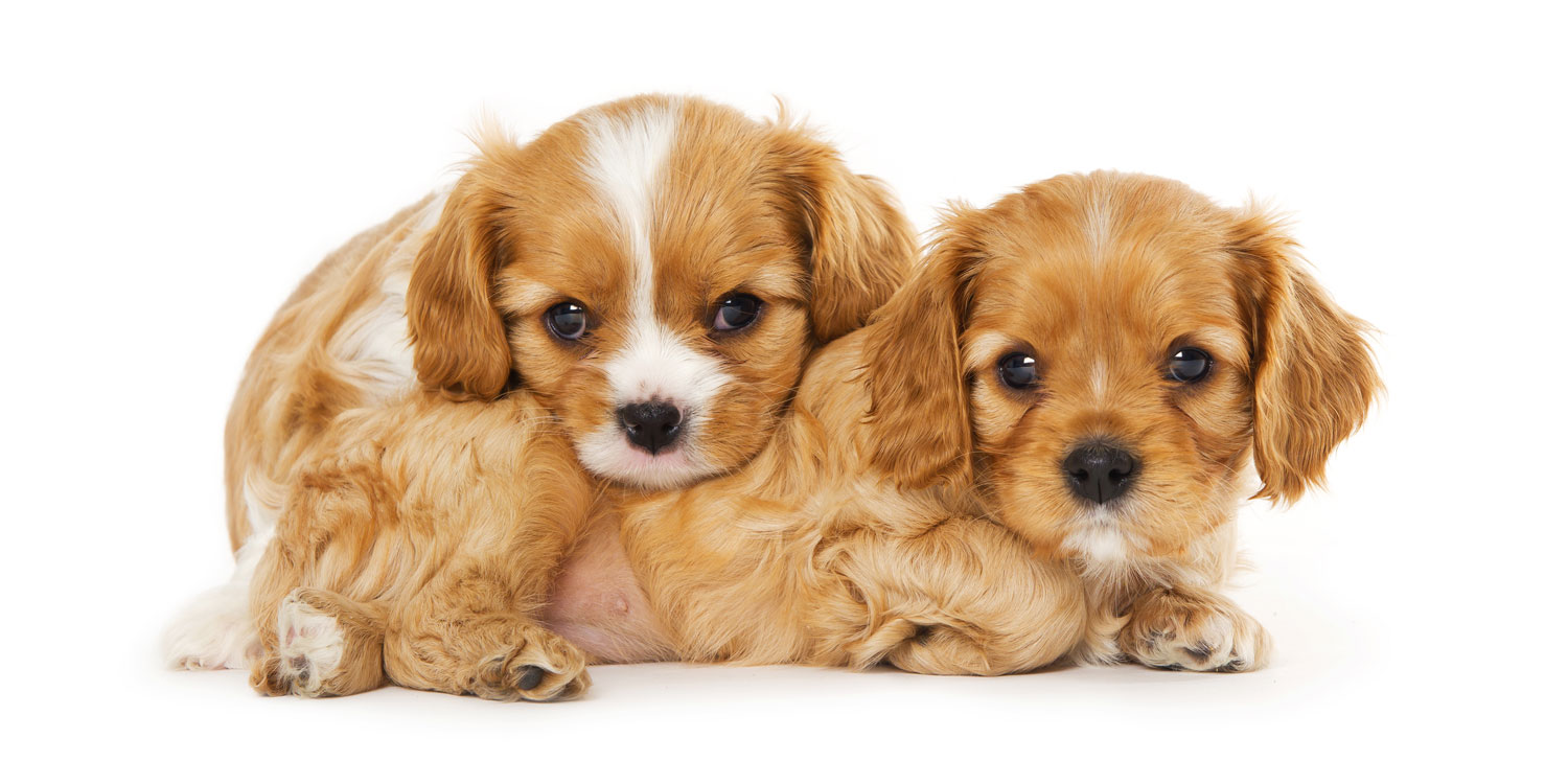 cavalier king charles puppies for sale by Uptown Puppies