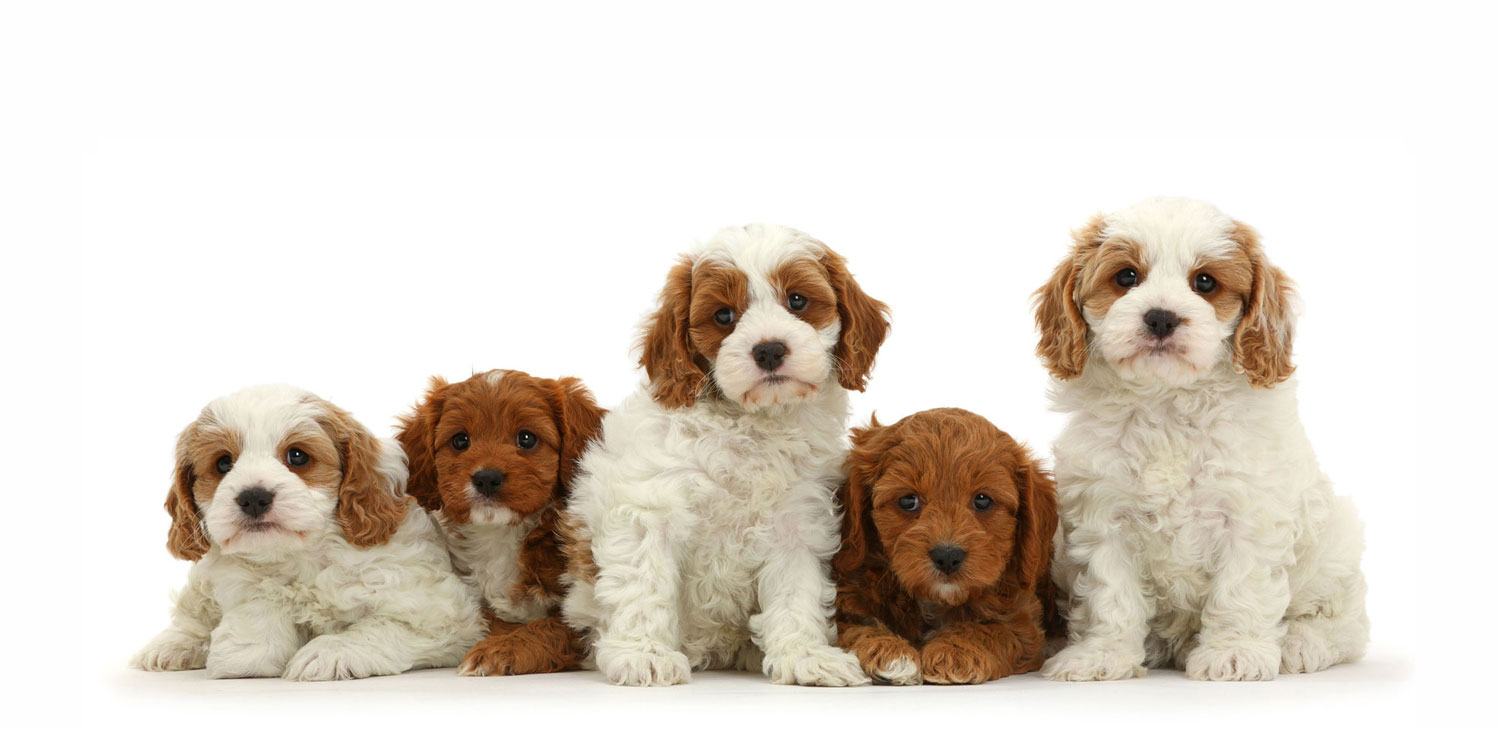 Cavapoo Puppies for Sale by Uptown Puppies