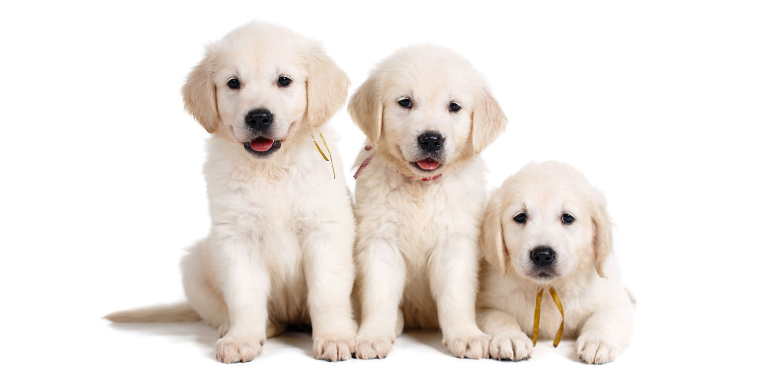 Labrador Retriever Puppies for Sale by Uptown Puppies